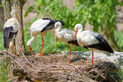 Bird a family of storks builds a nest Royalty Free Stock Photos