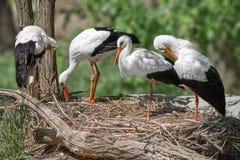 Bird a family of storks builds a nest Stock Photos