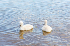 Bird family: swan cygnets, on a lake. Royalty Free Stock Image