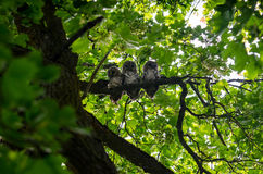 Bird family. Three owl babies sitting together Stock Photography