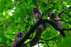 Bird family. Three owl babies sitting together Royalty Free Stock Photos