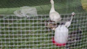 Bird farm green grass stock video