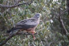 Bird, Fauna, Beak, Bird Of Prey Royalty Free Stock Photography