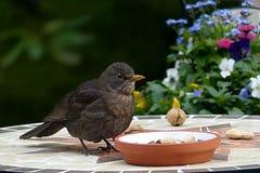 Bird, Fauna, Beak, Blackbird Royalty Free Stock Images