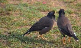Bird, Fauna, Beak, Blackbird Royalty Free Stock Photo