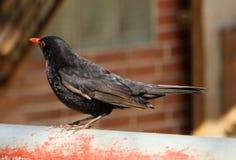 Bird, Fauna, Beak, Blackbird Royalty Free Stock Photography