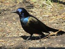 Bird, Fauna, Beak, Blackbird Stock Images