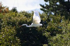 Bird, Fauna, Beak, Egret Royalty Free Stock Photos