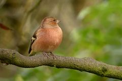 Bird, Fauna, Beak, Finch