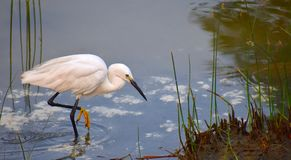 Bird, Fauna, Beak, Great Egret Stock Photos