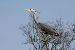 Bird, Fauna, Beak, Heron Royalty Free Stock Photo