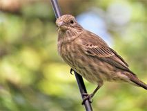 Bird, Fauna, Beak, House Finch Royalty Free Stock Photos