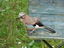 Bird, Fauna, Beak, Jay stock photos
