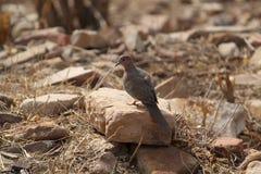 Bird, Fauna, Beak, Lark