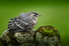 Bird, Fauna, Beak, Old World Flycatcher Stock Photography