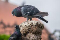 Bird, Fauna, Beak, Pigeons And Doves