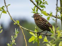 Bird, Fauna, Beak, Sparrow royalty free stock photography