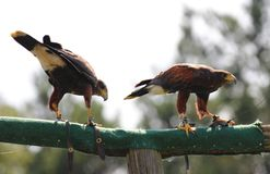 Bird, Fauna, Bird Of Prey, Beak royalty free stock photography