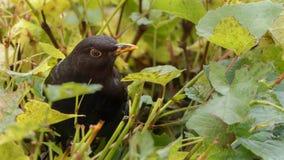 Bird, Fauna, Blackbird, Beak Stock Photo