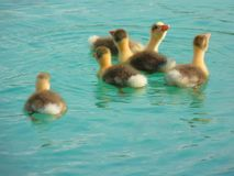 Bird, Fauna, Duck, Water Bird Stock Image