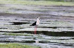 Bird, Fauna, Ecosystem, Shorebird Stock Photography