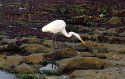 Bird, Fauna, Egret, Heron Stock Photo