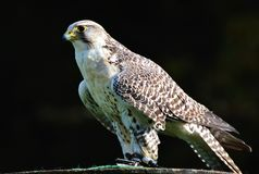 Bird, Fauna, Hawk, Falcon Royalty Free Stock Photography