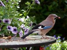 Bird, Fauna, Jay, Beak Royalty Free Stock Images
