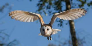 Bird, Fauna, Owl, Beak royalty free stock image