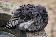 Bird, Fauna, Pigeons And Doves, Beak Royalty Free Stock Image