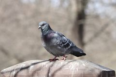 Bird, Fauna, Pigeons And Doves, Beak Stock Photo