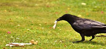Bird, Fauna, Rook, Beak Royalty Free Stock Photo