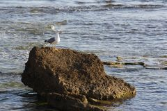 Bird, Fauna, Seabird, Sea royalty free stock photography