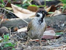 Bird, Fauna, Sparrow, Beak royalty free stock photography
