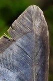 Bird feather closeup Royalty Free Stock Images