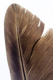 Bird feather closeup Stock Images