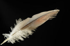 Bird feather Stock Image