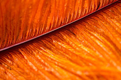 Bird feather orange color. Very nice structure Royalty Free Stock Photos