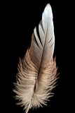 Bird feather or quill Royalty Free Stock Images