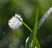 Bird feather. Small  bird feather hanging at grass blade Stock Photography