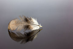 Bird feather. An bird feather whit reflection on an black tile Royalty Free Stock Image