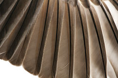 Bird Feathers Closeup Royalty Free Stock Image