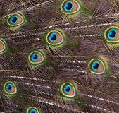 Bird feathers (peacock) Royalty Free Stock Images