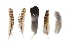Bird Feathers. Feathers on a white background Stock Photography