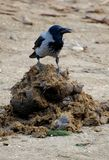 Bird on feces. A raven sitting on the elephant`s feces Stock Photos