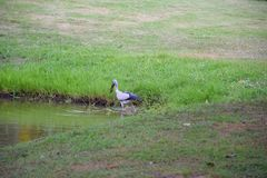 A bird feed in the lake. Royalty Free Stock Photos
