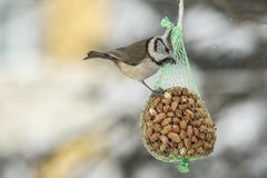 Bird feed with nuts in winter times royalty free stock photography