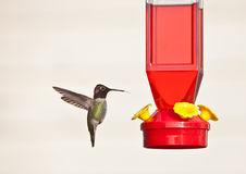 Bird and feeder. Side view of bird hovering next to red feeder, isolated on white background Stock Photography