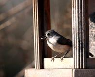 Bird Feeder. Bird getting a sunflower seed out of a bird feeder Stock Photos