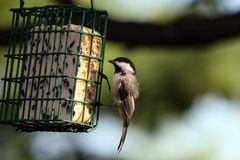 Free Bird Feeder Royalty Free Stock Photography - 3277457